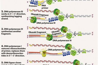 Dna Replication Process For Dummies 1 , 5 Dna Replication For Dummies In Cell Category