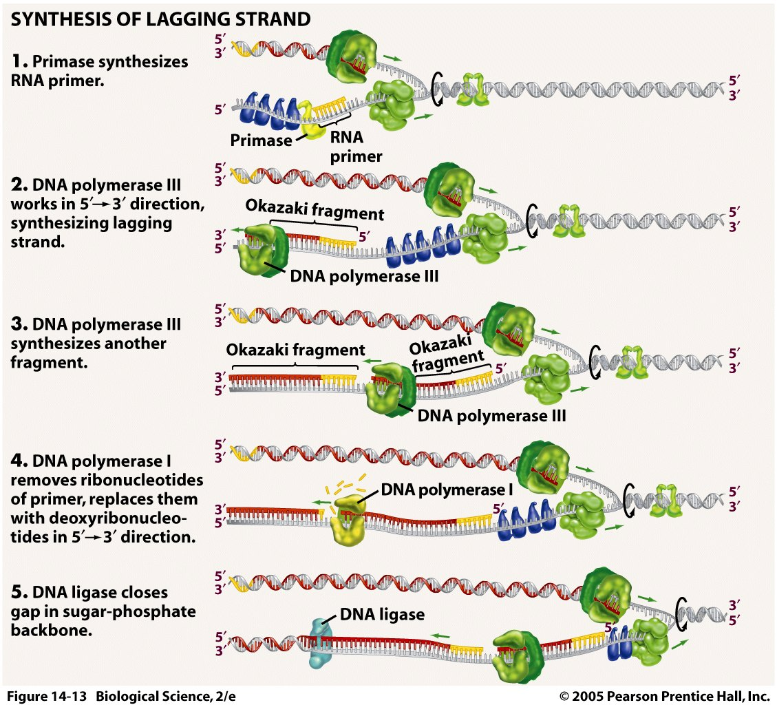 Dna Replication Process For Dummies 1 : 5 Dna Replication For ...