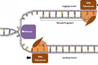 Dna Replication Process For Dummies 4 , 5 Dna Replication For Dummies In Cell Category