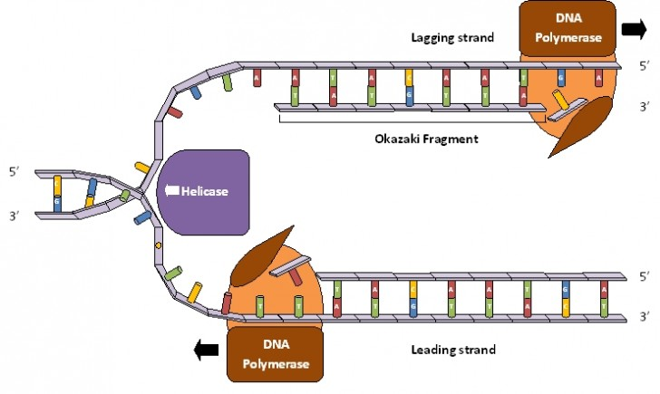 Cell , 5 Dna Replication For Dummies : Dna Replication Process For Dummies 4