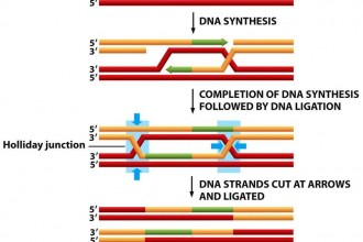 Dna Replication Process For Dummies 5 , 5 Dna Replication For Dummies In Cell Category