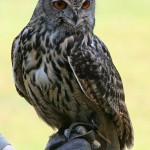 Eagle Owl , 7 Owl Pictures In Birds Category