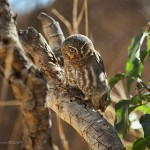 Elf Owl Facts for Kids , 6 Owl Facts For Kids In Birds Category