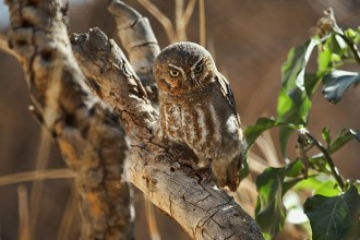 Elf Owl Facts for Kids in Butterfly