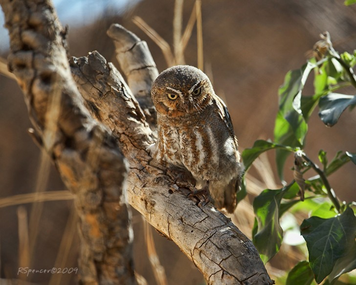Birds , 6 Owl Facts For Kids : Elf Owl Facts For Kids