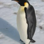 Emperor Penguin Facts , 6 Emperor Penguins Facts In Birds Category