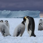 Emperor Penguin Pictures , 6 Emperor Penguins Facts In Birds Category