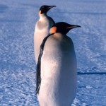 Emperor Penguin Portrait , 6 Emperor Penguins Facts In Birds Category