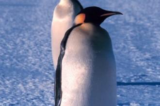Emperor Penguin Portrait , 6 Emperor Penguins Facts In Birds Category