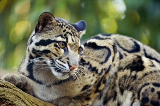 Endangered Clouded Leopard , 7 Clouded Leopard Facts In Mammalia Category