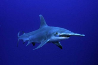 Endangered Great Hammerhead Sharks , 6 Facts About Hammerhead Sharks In pisces Category