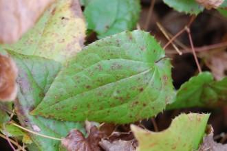 Epimedium Leaf , 6 Epimedium Leaf Photos In Plants Category