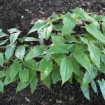 Epimedium leaf Photos , 6 Epimedium Leaf Photos In Plants Category