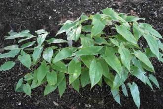 Epimedium Leaf Photos , 6 Epimedium Leaf Photos In Plants Category