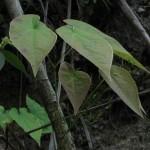 Epimedium sagittatum , 6 Epimedium Herb In Plants Category