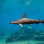 Extreme Shark Facts , 6 Hammerhead Sharks Facts In pisces Category