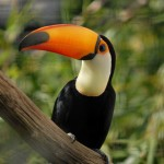 Facts about Toucans , 6 Facts About Toucans In Birds Category