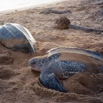 Facts about turtle leatherback , 6 Leatherback Turtle Facts In Reptiles Category