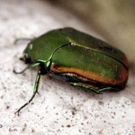 Figeater beetle , 6 Beetle Type Bugs In Bug Category