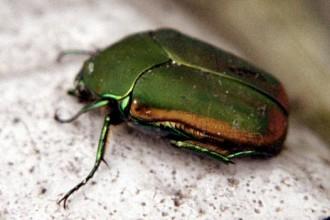 Figeater Beetle , 6 Beetle Type Bugs In Bug Category