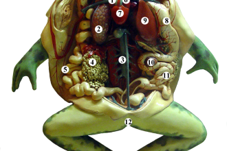 Frog Anatomy Pictures , 4 Fetal Pig Dissection Lab Simulator In Organ Category