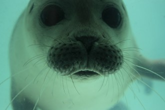 Fun Harp Seal Facts , 5 Harp Seal Facts In Mammalia Category