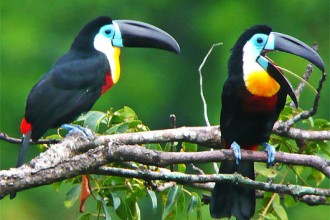 Fun Interesting Facts For Kids , 6 Toucan Facts For Kids In Birds Category
