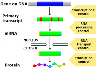 Gene Regulation , 7 Rna Quiz In Cell Category