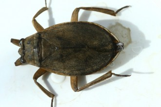 Giant Water Bugs , 6 Water Bug Beetle In Bug Category