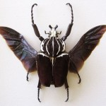 Goliath Beetle Information , 6 Goliath Beetle Facts In Beetles Category