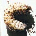 Goliathus Beetle Breeding , 6 Photos Of Goliath Beetle Larvae In Beetles Category