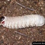 Goliathus orientalis Larva , 6 Photos Of Goliath Beetle Larvae In Beetles Category