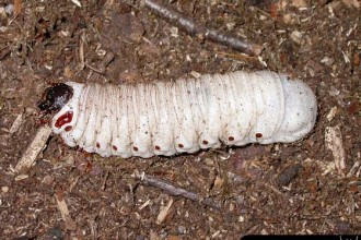 Goliathus Orientalis Larva , 6 Photos Of Goliath Beetle Larvae In Beetles Category