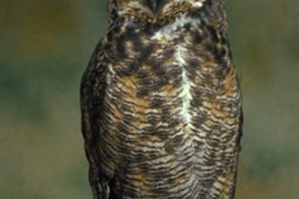 The Great Horned Owl in Spider