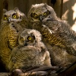 Great Horned Owl Facts , 6 Great Horned Owl Facts In Birds Category
