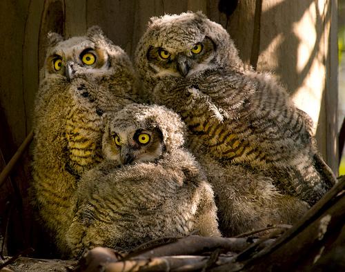 Birds , 6 Great Horned Owl Facts : Great Horned Owl Facts