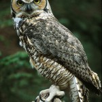 Great Horned Owl Photo , 6 Great Horned Owl Facts In Birds Category