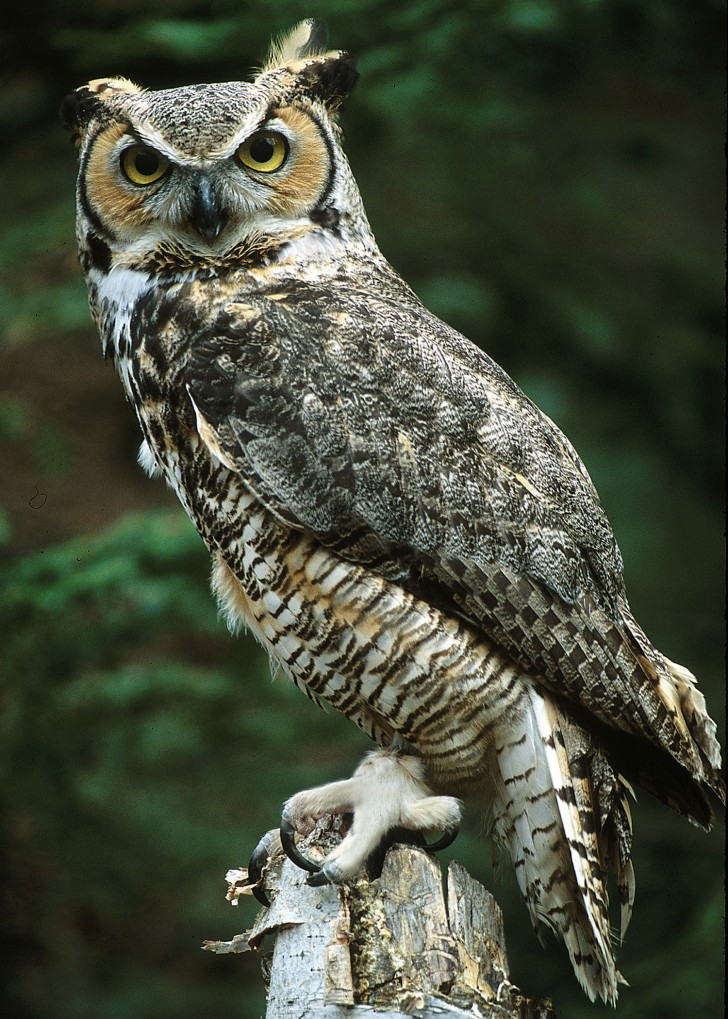 Birds , 6 Great Horned Owl Facts : Great Horned Owl Photo