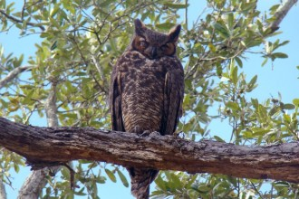 Great Horned Owl Pictures in Cell