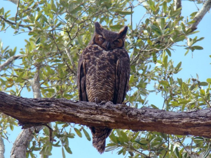 Birds , 6 Great Horned Owl Facts : Great Horned Owl Pictures