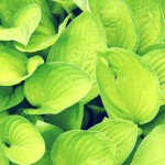 Green leaf wallpaper , 7 Green Leaf Landscaping In Plants Category