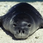 HAWAIIAN MONK SEAL FACTS , 5 Hawaiian Monk Seal Facts In Mammalia Category