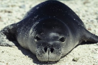 HAWAIIAN MONK SEAL FACTS in Birds