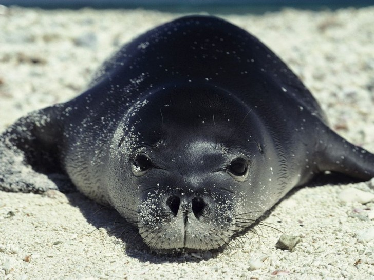 Mammalia , 5 Hawaiian Monk Seal Facts : HAWAIIAN MONK SEAL FACTS