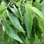 Hackberry Leaves , 6 Hackberry Tree Leaf Pictures In Plants Category