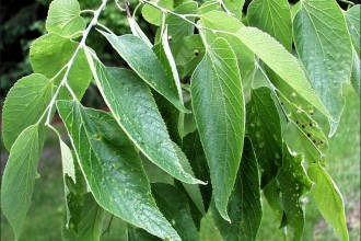 Hackberry Leaves in Spider