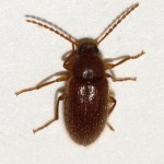 Hairy little brown beetle , 6 Brown Beetle Bugs In Bug Category