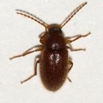 Hairy little brown beetle , 6 Brown Beetle Bugs In Bug Category