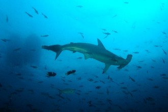 Hammerhead Shark Facts , 6 Facts About Hammerhead Sharks In pisces Category