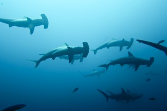 Hammerheads Photo , 6 Hammerhead Sharks Facts In pisces Category
